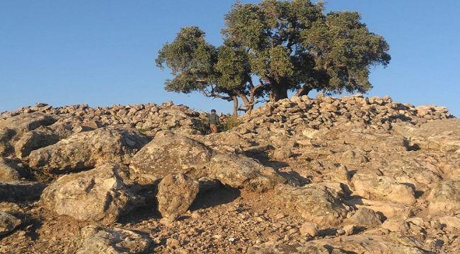 Bu Ağaç 2 Bin Yaşında