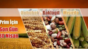 Hububat, baklagil ve mısırda prim başvurusu için son gün 30 Nisan…