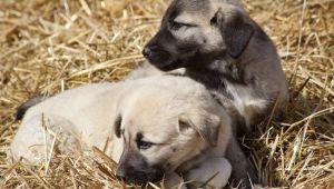 Kangal ve akbaş genlerine özel koruma