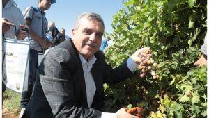 Başkan Beyazgül Büyükşehir'in yetiştirdiği meyveleri topladı