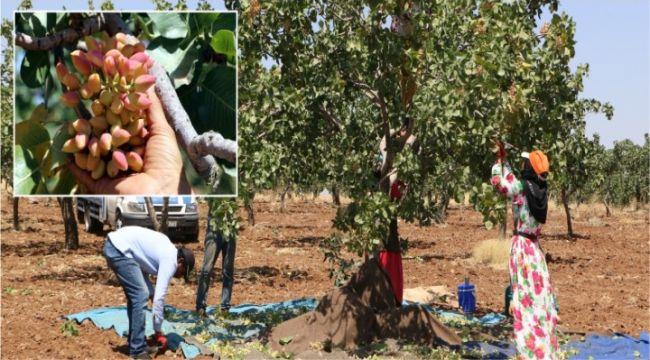 Şanlıurfa'da fıstık hasadı başladı