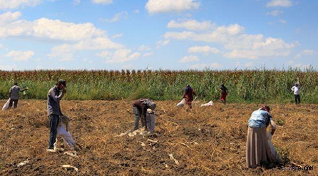 COVID-19 Salgınında Mevsimlik Tarımda Çalışan Ailelerin ve Çocukların Korunması