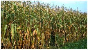 Suriye sınırında Uzun boylu bitkilerin ekimi yasaklandı
