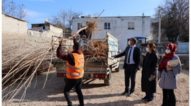 Urfa'da İpekböcekçiliği için dut ağacı dağıtımı başladı