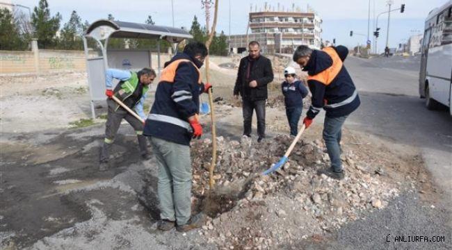 Viranşehir Belediyesinden ağaçlandırma çalışması